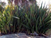 Dianella tasmanica flax-lily 'Little Devil'