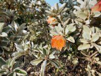 Diplolaena grandiflora - Wild Rose