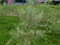 Eremophila arachnoides - emu bush