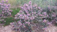 Eremophila cuneifolia - emu bush