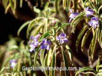 Eremophila freelingii - limestone fuschia