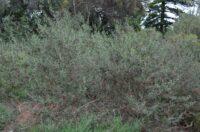 Eremophila glabra - tar bush