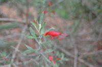 Eremophila glabra - emu bush
