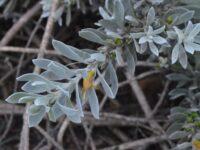 Eremophila glabra emu bush 'Kalbarri Carpet'