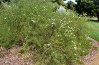Eremophila polyclada - twiggy emu bush