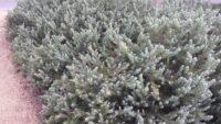 Eremophila subflocossa - emu bush
