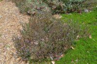 Eremophila veronica - emu bush