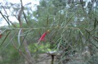 Eremophila youngii - emu bush