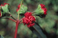 Eucalyptus erythrocorys - red cap gum