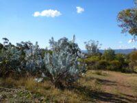Eucalyptus macrocarpa is endemic to West Australia