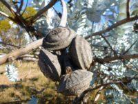 Eucalyptus macrocarpa seed pod