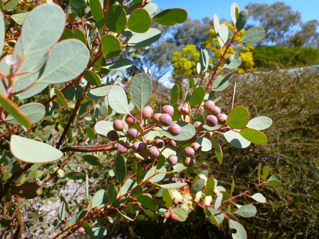 Eucalyptus Orbifolia Round Leaf Mallee Gardening With