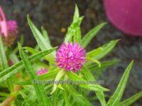 Gomphrena flaccida - 'Pink Gem'