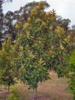 Grevillea baileyana - brown silky oak or white oak