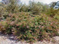 Grevillea Burgundy Blaze is a hardy australian shrub