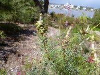 Grevillea paradoxa - bottlebrush grevillea seed heads