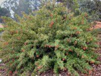 Grevillea rhyolitica x victoreae 'Lady O'