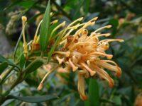 Grevillea rhyolitica - Deua Gold