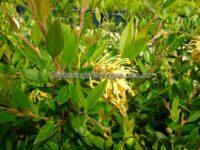 Grevillea rhyolitica - Deua Gold flowers all year round