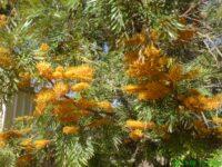 Grevillea robusta - silky oak