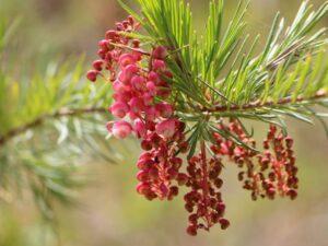 Grevillea rosmarinifolia 'Rosy Posy' offers good bird shelter