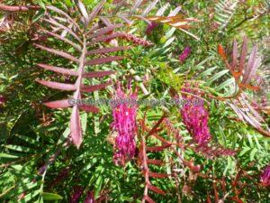 Grevillea - 'Burgundy Blaze' has bronze new growth