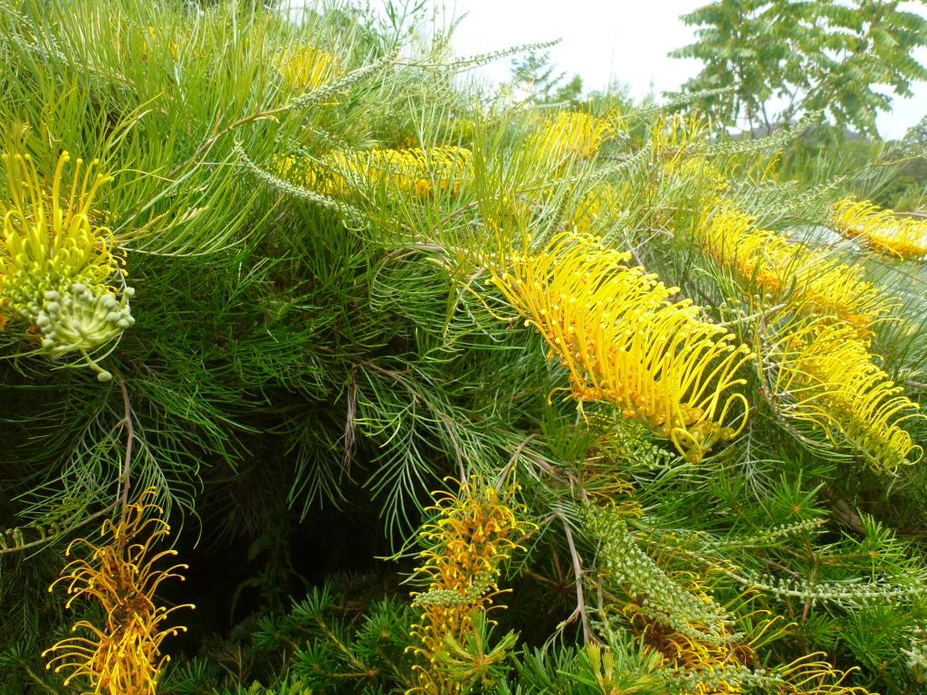 Grevillea Cooroora Cascade Gardening With Angus