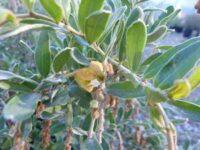 Grevillea 'Flora Gold'