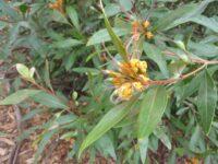 Grevillea 'Orange Marmalade'