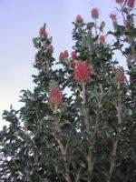 Grevillea 'Pink Candelabra'