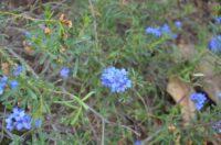 Halgania caerulea - blue mallee flower