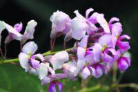 Hardenbergia violaceae native wisteria 'Pink Spray'