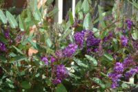 Hardenbergia violaceae native wisteria 'Purple Spray'