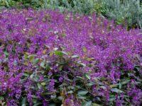 Hardenbergia violacea native wisteria 'Sea of Purple'