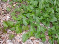 Hardenbergia violaceae native wisteria 'Sweetheart'