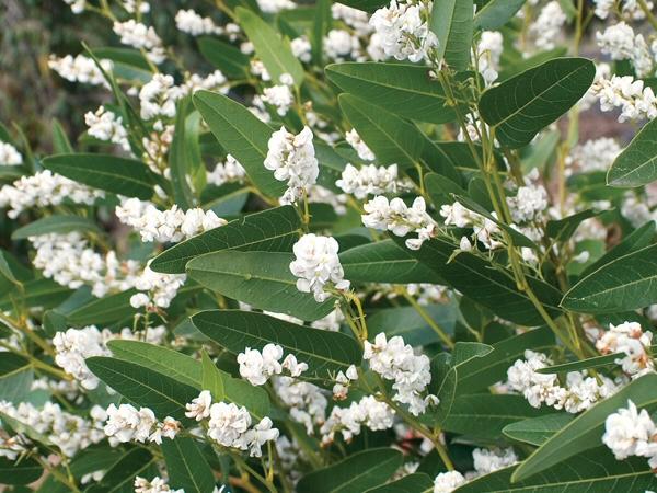 Anguss top ten australian groundcovers gardening with angus hardenbergia violaceae native wisteria white mightylinksfo