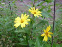 Helianthus tuberosus - Jerusalem artichoke flowers are like sunflowers