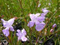 Hemiandra pungens - snake plant