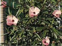Hibiscus 'Aussie Delight'