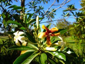 Hymenosporum flavum - native frangipani has sweet smelling flowers