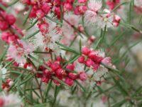 Hypocalymma angusifolia - white myrtle