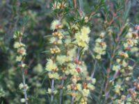 Hypocalymma xanthopetalum - yellow myrtle