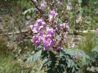 Indigofera australis - Australian indigo