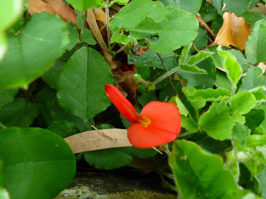 Kennedia Prostrata Running Postman Gardening With Angus