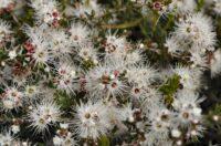 Kunzea ambigua prostrate - tick bush
