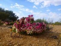 Lechenaultia macrantha - wreath lechenaltia