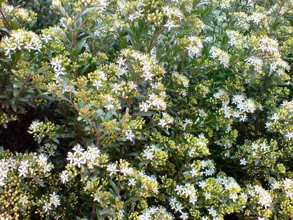 Leionema elatius x lamprophyllum Green Screen is a good hedge plant for shade