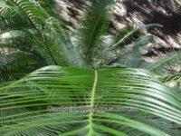 Lepidozamia peroffskyana - pineapple zamia