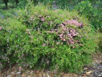 Leptospermum 'Aphrodite' manuka hybrid tea tree