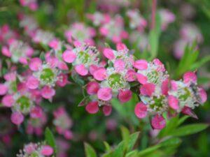 Leptospermum 'Aphrodite' manku tea tree hybrid also good for cut flowers